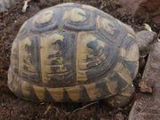 Griechische Landschikdkröte