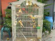Ich verkaufe schöne Kanarienvögel 2018