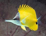 Meerwasser Forcipiger flavissimus Gelber Langnasen-Pinzettfisch