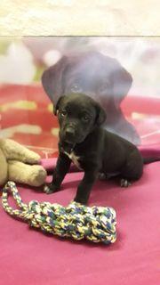 1 Labrador Retriever Welpe rüde