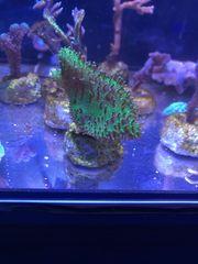Korallen Weichkoralle