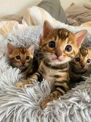 4 aufgeweckte Bengal Kitten mit