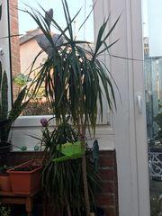 Zimmerpflanze Dracayana