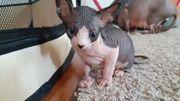 Süße Kanadisch Canadische Sphynx Kitten