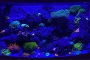 Meerwasser Korallen Ableger Weichkorallen Scheibenanemonen