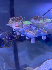 verschiedene Korallen Ableger aus eigener