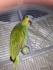 papagai Amazon Venezuela Abenzu reden