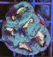 Meerwasser Meerwasseraquarium Favia Ultra Frag