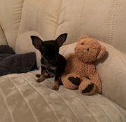 X-Mini Chihuahua Rüde sucht ein