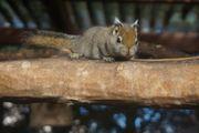 Baumstreifenhörnchen Tamiops Streifenhörnchen