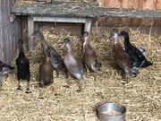 Junge Laufenten indische Enten Scheckenfresser