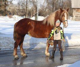 Pferde - Nette Kaltblut Stute Dolly Buster