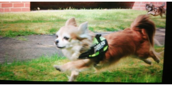Suche so einen Chihuahua