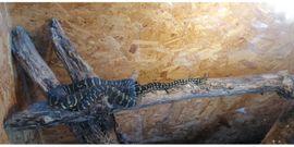 Teppichpython: Kleinanzeigen aus Nistertal - Rubrik Reptilien, Terraristik