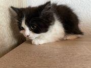 Britische Kitten
