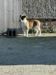 Malinois- Bulldog Welpen