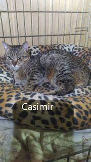 Casimir geb 2019 Prachtkater sucht
