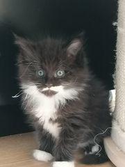 unsere XL Maine Coon Kitten