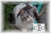 Mainecoon Deckkater black-silver-cl tabby-white