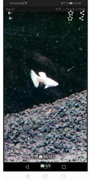 hochzucht guppys albino full white