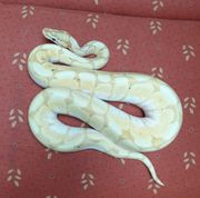 Python Regius 1 3 Banana