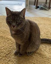 Katze entlaufen Siam-Hauskatze mix grau