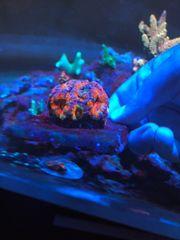 Acanthastrea Rainbow