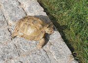 Suche Vierzehen Schildkröte Russische Schildkröte