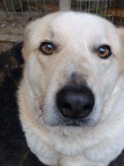 freundlicher Labradormix
