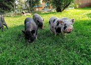 Minischwein Ferkel suchen neues Zuhause