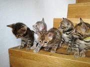 Bengalkitten kitten