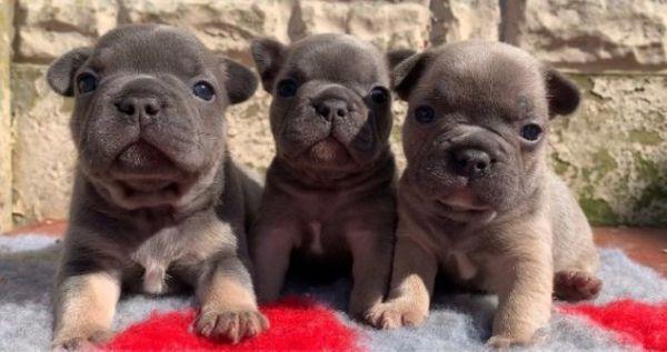 Susse Franzosische Bulldogge Welpen In Frankfurt Hunde Kaufen Und Verkaufen Uber Private Kleinanzeigen