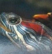 suche Rotwangenschildkröten Trachemys scripta