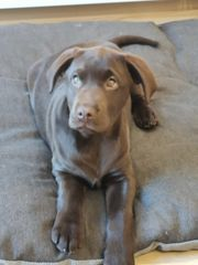 Labrador Welpe dringend abzugeben
