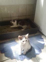 Pärchen Katzenbabys zu verschenken