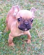 Französische Bulldogge Welpe Rüde beige