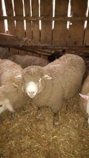 Schafbock Zuchtbock Schafe