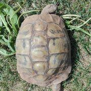 Griechische Landschildkröte Weibchen