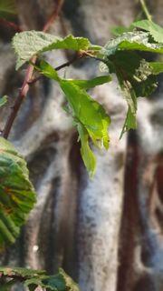 Eier Wandelndes Blatt - Phyllium philippinicum