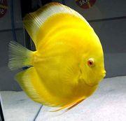 Diskusfische in Leitungswasser gezüchtet