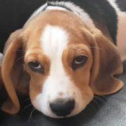 Wurfankündigung reinrassige Beagle Welpen