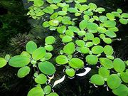 Wassersalat Aquariumpflanzen Versand