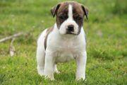 OEB Bulldog Mix Welpen