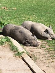 Hängebauchschweine zu verschenken