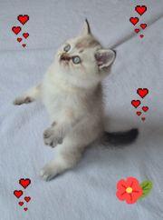 BKH Kitten Junge ist frei