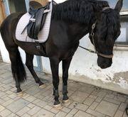 Spanier PRE 4-jähriger Wallach roh
