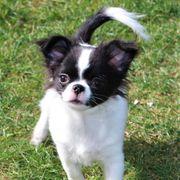 Wunderschöner Chihuahua Rüde seriöse Zucht