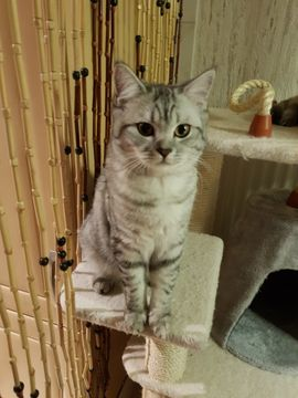 BKH Deckkater blg B: Kleinanzeigen aus Leimen - Rubrik Katzen