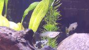 Guppy Fische