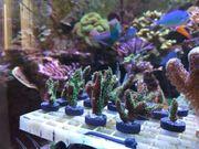 Korallenableger Millepora orange grün